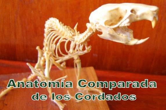 Anatomía Comparada de los Cordados
